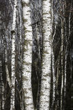 Árboles de abedul en último invierno Imagen de archivo