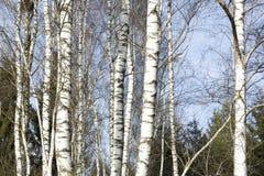 Árboles de abedul en último invierno Fotos de archivo