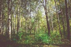 Árboles de abedul en Autumn Park Retro Foto de archivo