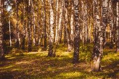 Árboles de abedul en Autumn Park Retro Imagenes de archivo