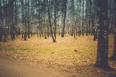 Árboles de abedul en Autumn Park Retro Imagen de archivo