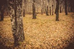 Árboles de abedul en Autumn Park Retro Fotos de archivo libres de regalías
