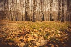 Árboles de abedul en Autumn Park Retro Imágenes de archivo libres de regalías
