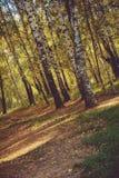Árboles de abedul en Autumn Park Retro Fotografía de archivo