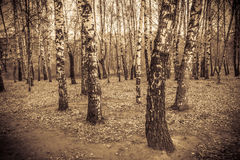 Árboles de abedul en Autumn Park Retro Foto de archivo libre de regalías