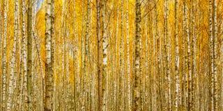 Árboles de abedul en Autumn Woods Forest Yellow Foliage Delantera rusa Fotos de archivo
