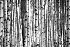 Árboles de abedul en blanco y negro Imagenes de archivo