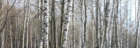 Árboles de abedul en bosque Imagen de archivo