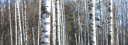 Árboles de abedul en bosque Foto de archivo