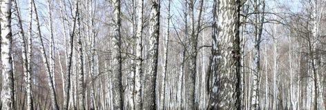 Árboles de abedul en bosque Imagen de archivo libre de regalías