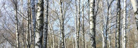 Árboles de abedul en bosque Fotos de archivo libres de regalías