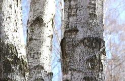 Árboles de abedul en bosque Fotografía de archivo libre de regalías