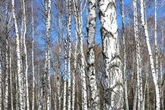 Árboles de abedul en bosque Foto de archivo libre de regalías