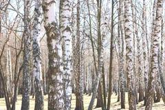 Árboles de abedul en bosque Fotografía de archivo