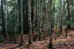 Árboles de abedul en bosque. Foto de archivo