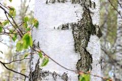 Árboles de abedul en bosque Fotos de archivo