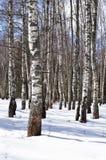 Árboles de abedul en bosque del invierno Imágenes de archivo libres de regalías