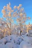 Árboles de abedul en bosque del invierno Foto de archivo libre de regalías