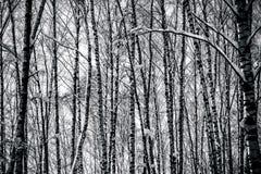 Árboles de abedul en bosque del invierno en blanco y negro Fotografía de archivo