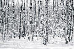 Árboles de abedul en bosque del invierno en blanco y negro Fotografía de archivo libre de regalías