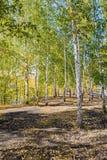 Árboles de abedul en bosque del otoño Foto de archivo