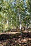 Árboles de abedul en bosque del otoño Imagen de archivo