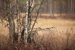 Árboles de abedul en bosque del otoño Imagen de archivo libre de regalías