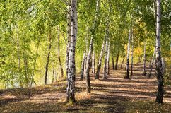 Árboles de abedul en bosque del otoño Foto de archivo libre de regalías