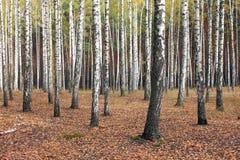 Árboles de abedul en bosque del otoño en tiempo nublado Foto de archivo