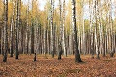 Árboles de abedul en bosque del otoño en tiempo nublado Fotografía de archivo libre de regalías