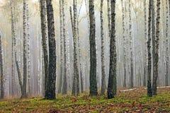 Árboles de abedul en bosque del otoño en tiempo nublado Foto de archivo libre de regalías
