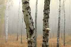 Árboles de abedul en bosque del otoño en tiempo nublado Fotos de archivo libres de regalías