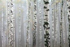 Árboles de abedul en bosque del otoño en tiempo nublado Fotografía de archivo