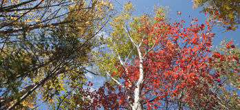 Árboles de abedul en caída, Maine Imagen de archivo
