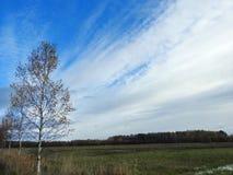 Árboles de abedul en campo Fotografía de archivo libre de regalías