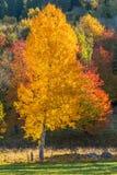 Árboles de abedul en color del otoño Foto de archivo