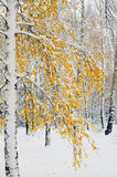 Árboles de abedul en colores de la caída Imágenes de archivo libres de regalías