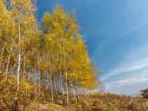 Árboles de abedul en colores del otoño Foto de archivo libre de regalías