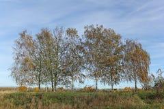Árboles de abedul en colores del otoño Fotos de archivo