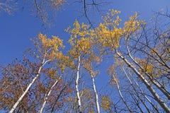 Árboles de abedul en colores de la caída Fotos de archivo