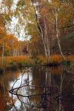 Árboles de abedul en el agua Foto de archivo libre de regalías