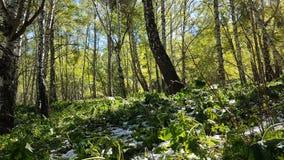 Árboles de abedul en el bosque Imágenes de archivo libres de regalías