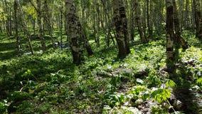 Árboles de abedul en el bosque Imagen de archivo