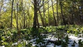 Árboles de abedul en el bosque Imagenes de archivo