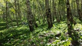Árboles de abedul en el bosque Foto de archivo libre de regalías