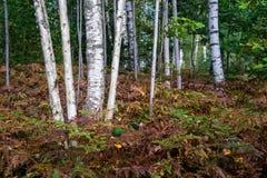 Árboles de abedul en el bosque Fotografía de archivo