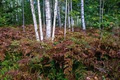 Árboles de abedul en el bosque Fotografía de archivo libre de regalías
