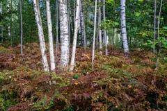 Árboles de abedul en el bosque Fotos de archivo
