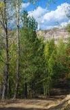 Árboles de abedul en el bosque Imagen de archivo libre de regalías