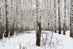 Árboles de abedul en el bosque del invierno Fotos de archivo